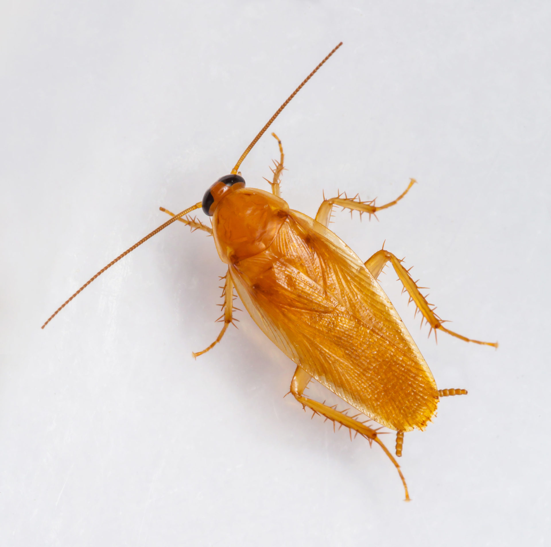 sinlge smooth cockroach