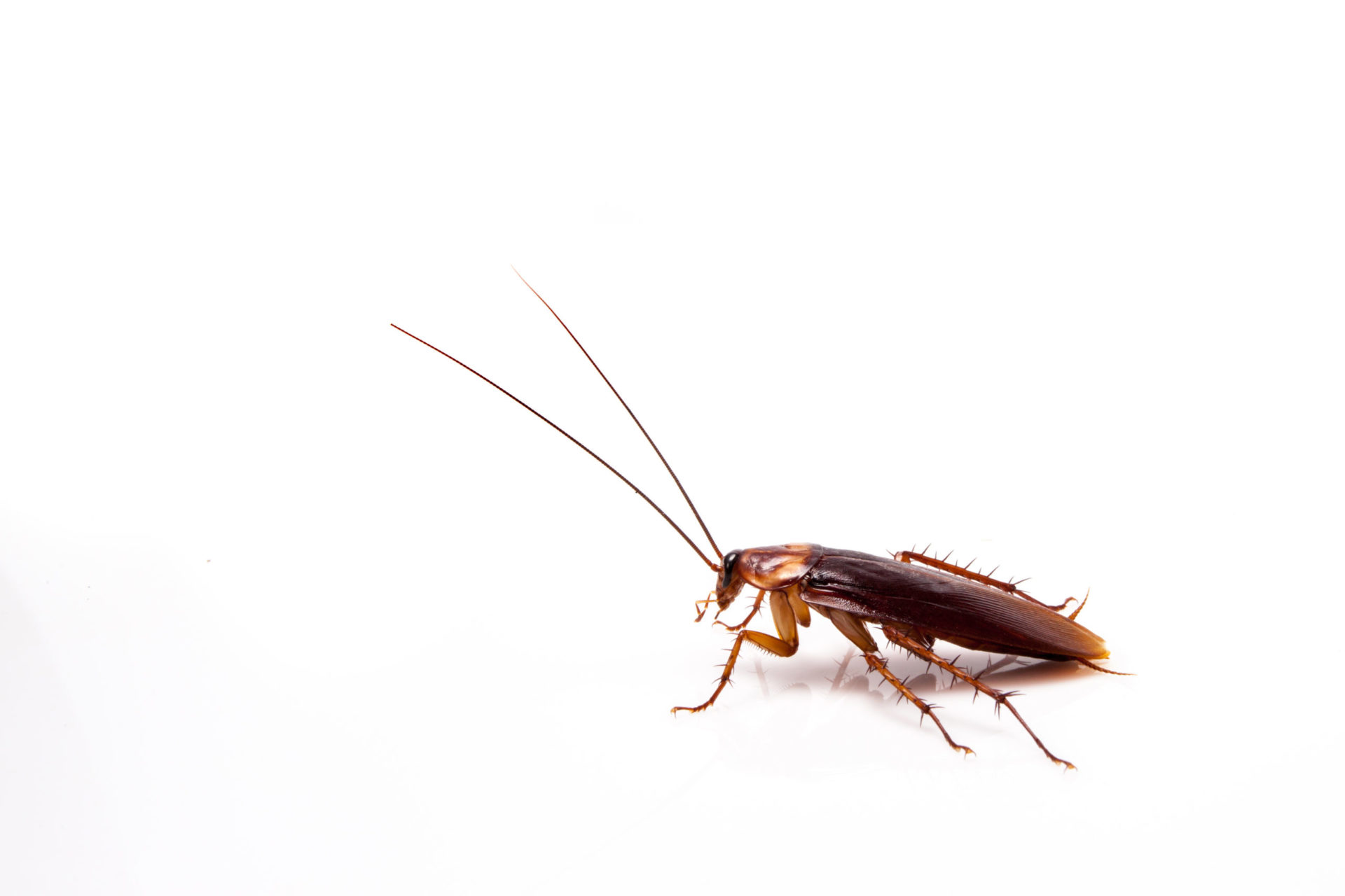 american cockroach white background