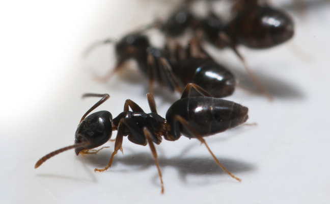 odorous ant in group