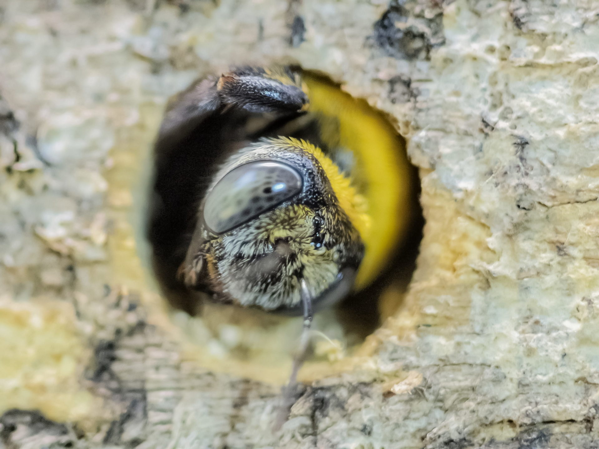 a Capenter Bee drill a hole of wood pallet and making the nest.