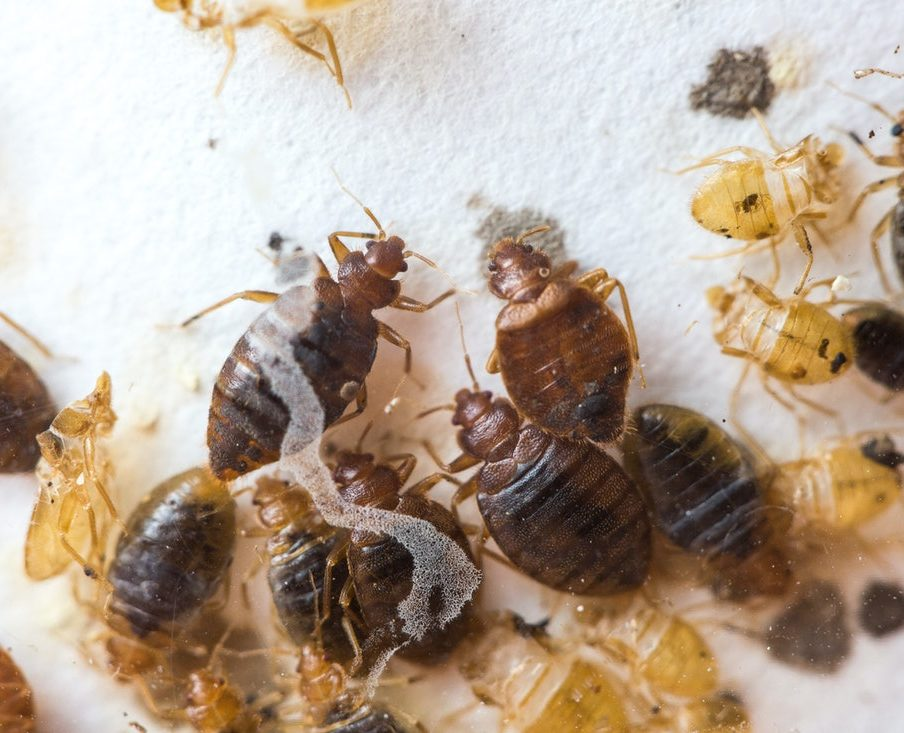 group of bed bugs