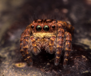 jumping spider cover