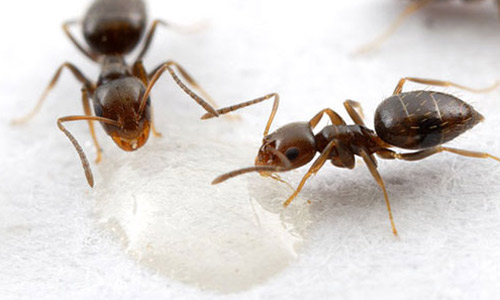 rover ants eating sugar