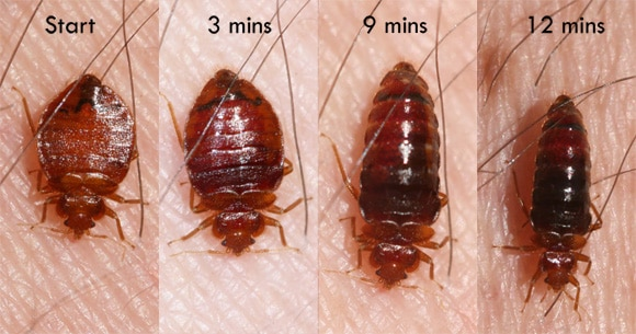 bed-bug-feeding