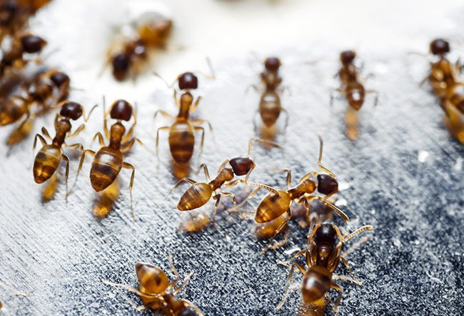 grease ants