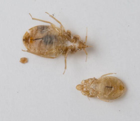 two bedbug skin and casings