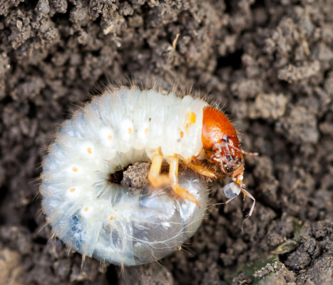 Japanese beetle grub