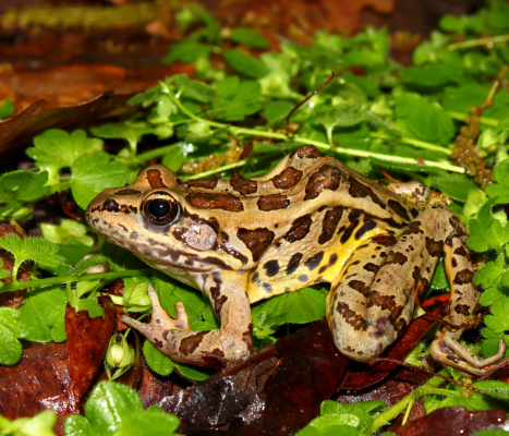 Pickerel Frogs​