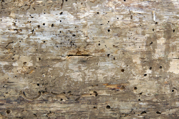 Woodworm holes and burrows