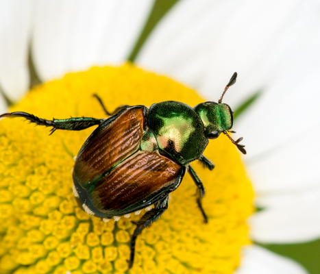 japanese beetle on flowe