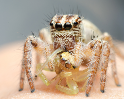 jumping spider eating
