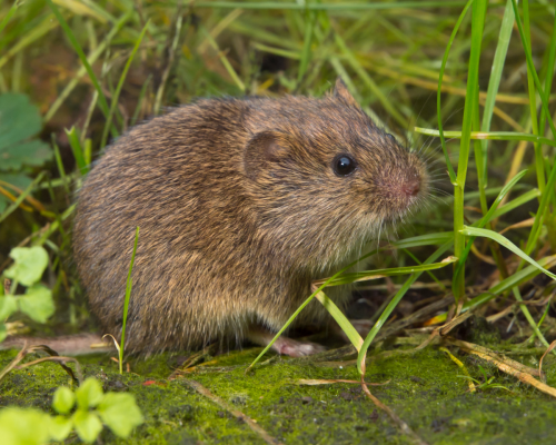 vole in grass