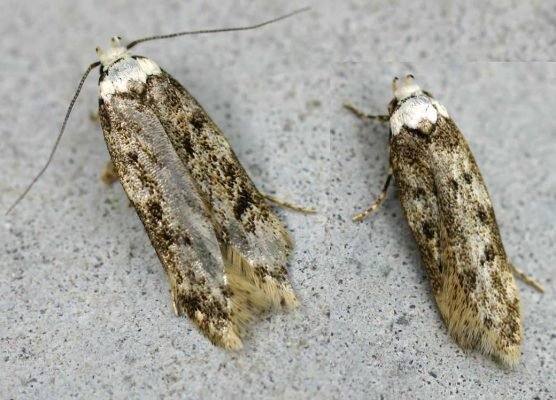 white shouldered pantry moth